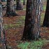 Slash pine trees (Pinus elliottii) in camping area - Hunting Island SP, South Carolina