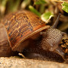 Snail chewing a dead leaf - Pacific Beach, CA
