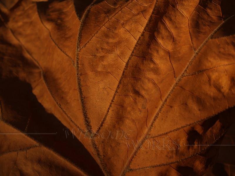 Dried sycamore leaf, Autumn - Quakertown, PA