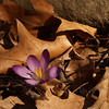 Purple Crocus in dried oak leaves, Easter Sunday