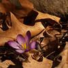 Purple Crocus in dried oak leaves, Easter Sunday