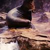 Sea Lion Raising Flipper on rock