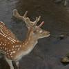 Deer in creek, Hellertown