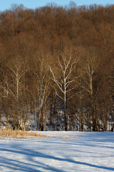 Sycamore and shadows on Slifer Valley Rd.