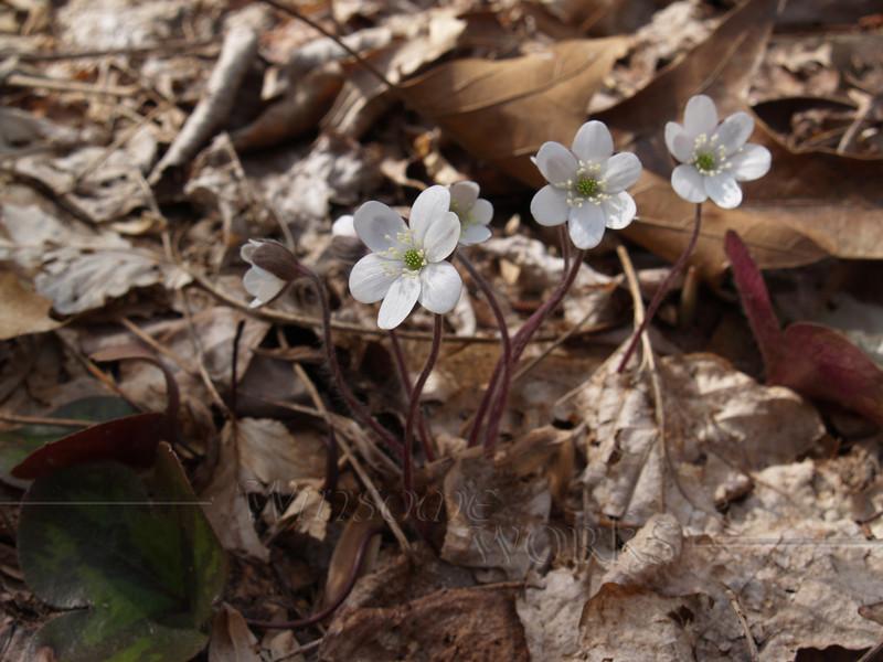 Hepatica americana (liverwort) -- Quakertown, PA