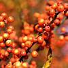 Pyracantha berries - Harrisonburg, VA