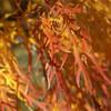 Threadleaf maple leaves - Harrisonburg, VA