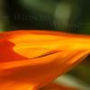 Bird-of-paradise flower macro (Strelitzia reginae) - Pacific Beach, CA
