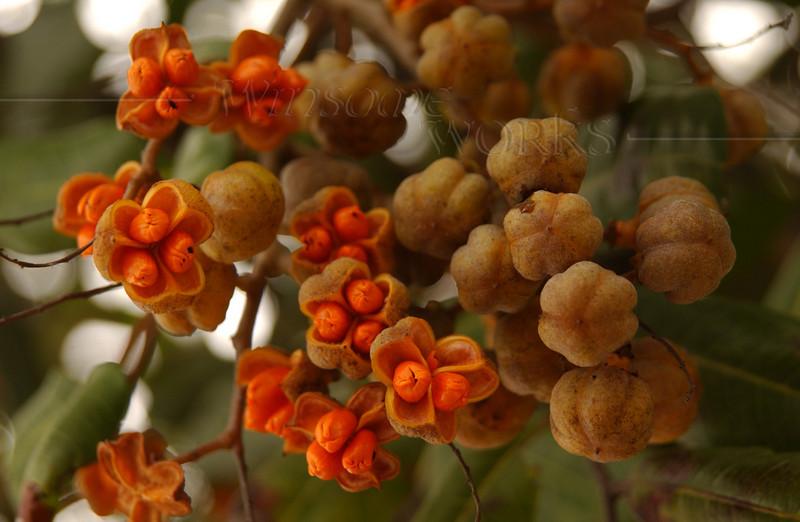 Orange seeds on tree (Needs i.d.) - Pacific Beach, CA