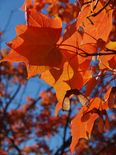Brilliant Sugar Maple Leaves in Azure Sky