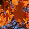 Maple leaves like a canopy in fall, Quakertown PA