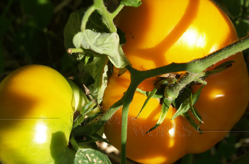 Our yellow tomatoes ripening