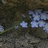 Forget-me-nots (Myosotis scorpioides)