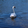 Swan in a park in Ann Arbor, MI