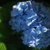 Hydrangea macrophylla with elegant lighting