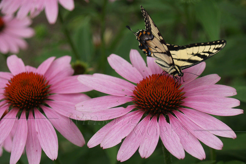 Swallowtail butterfly on Echinacea (purple coneflower)
