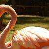 Flamingo at San Diego Zoo