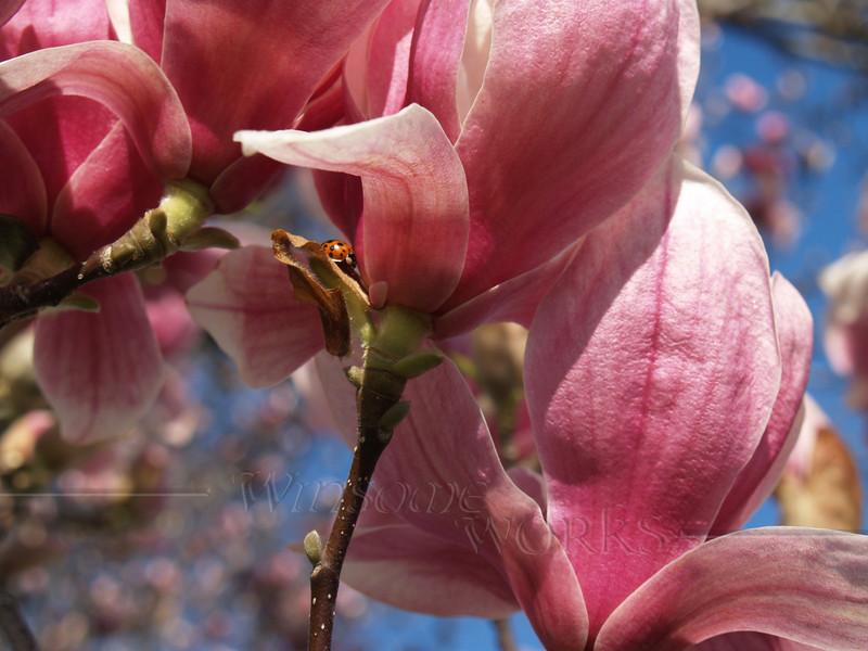 Our magnolia - Magnolia soulangeana