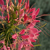 Cleome (spider flower)