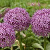 Purple allium in park - Lower Manhattan, NYC