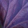 Underside of huechera leaf in our backyard shade garden  - 5/10/2012