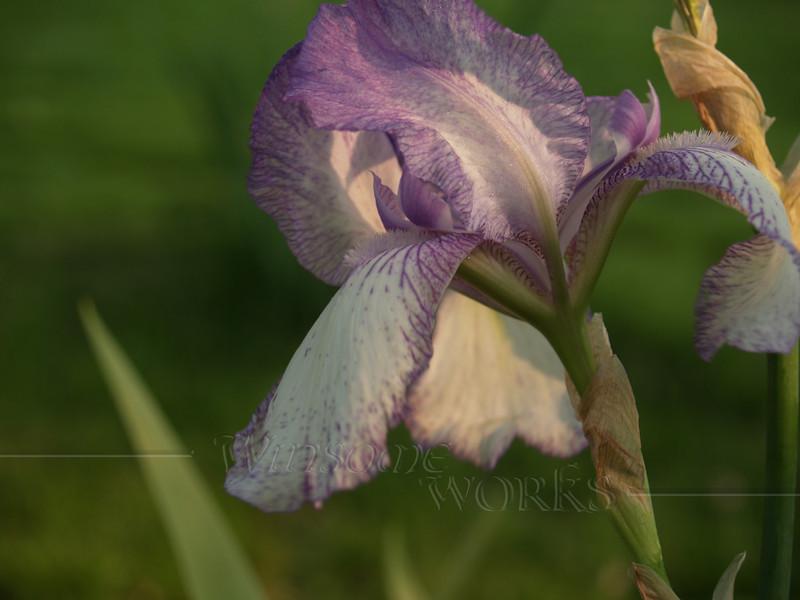 Purple bearded iris - spring, Quakertown, PA