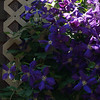 Clematis vine, Quakertown PA