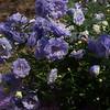 Spring Campanula