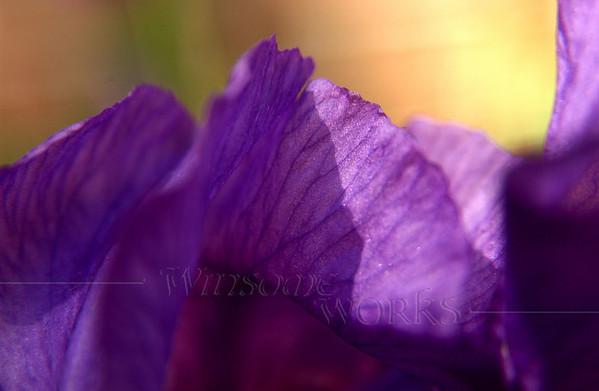 Purple bearded iris petals - Christopher Dock Mennonite H.S.; Harleysville, PA