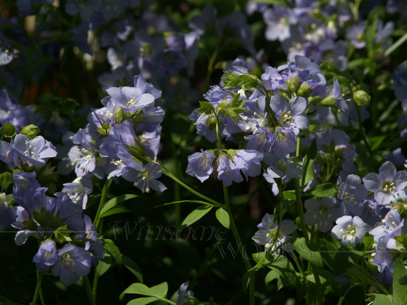 Jacob's Ladder (Polemonium caeruleum)-- our backyard