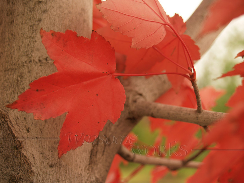 Red Maple Leaves, Lehigh Valley