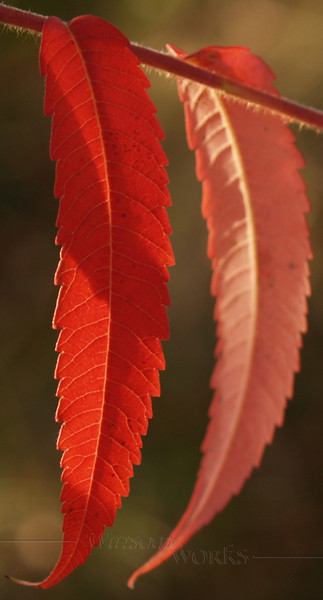 Staghorn Sumac Closeup
