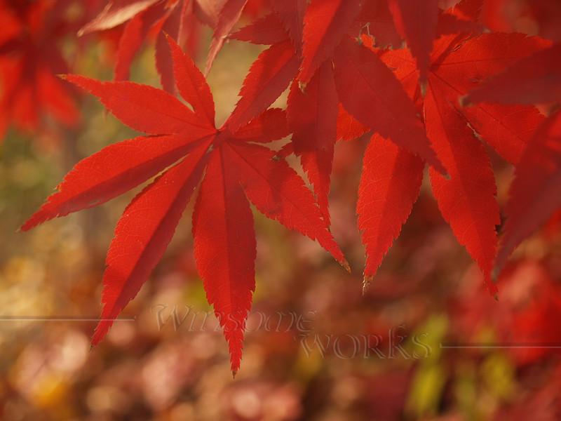 Back-lit Japanese Maple Leaves