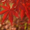 Back-lit Japanese Maple Leaves