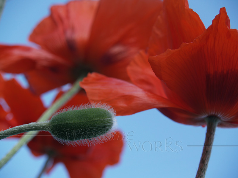 Poppies and Seed-pod in the Blue