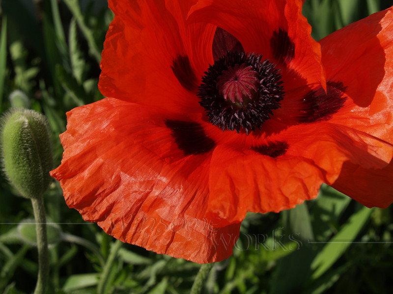 Poppy captured on Mothers' Day