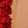 Firethorn (Pyracantha coccinea) Berries on Wood Background