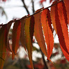 Back-lit Staghorn Sumac Leaves