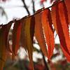 Back-lit Staghorn Sumac Leaves