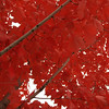 Red Maple leaves in Lehigh Valley