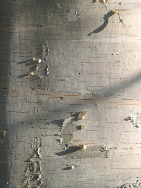 White birch tree (Betula papyrifera) trunk; also known as paper, canoe, or silver birch... shows peeling layers. Late afternoon lighting; found in Eastern Pennsylvania.