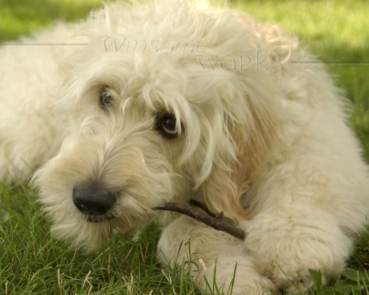 Lily the Goldendoodle
