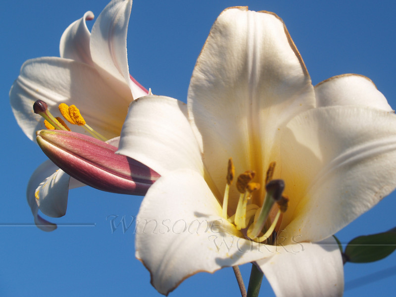 Ornamental Lily - Coopersburg, PA