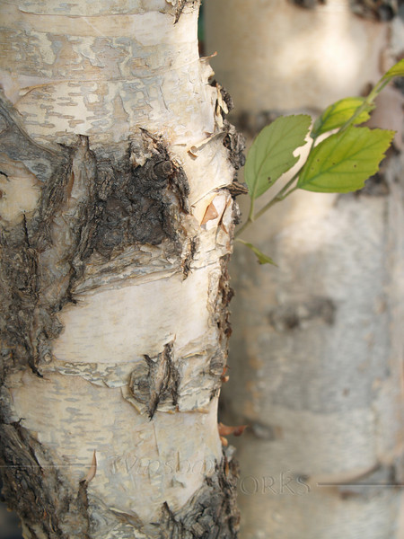 Paper Birch tree, Virginia