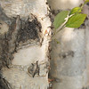 Paper Birch tree, Virginia