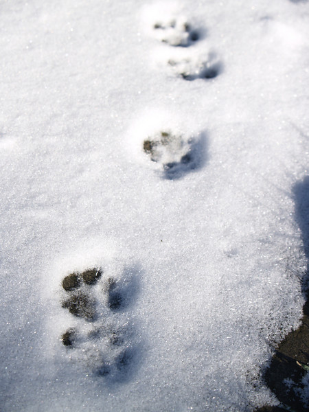 Our cat's pawprints in fresh snow