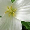 White Trillium (Trillium grandiflorum) Wildflower Macro