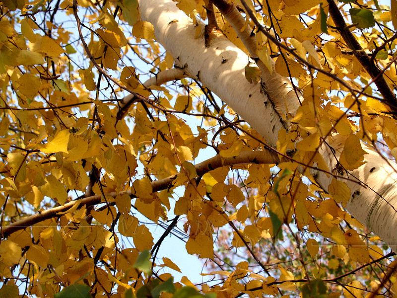 Paper Birch Leaves in Yellow