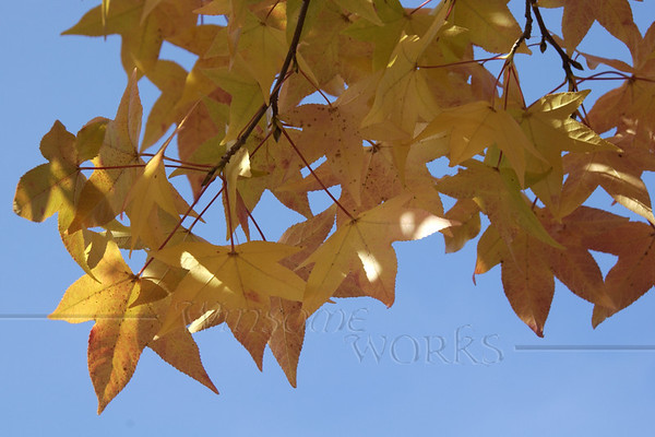 Sweetgum in Autumn - Harrisonburg, Virginia