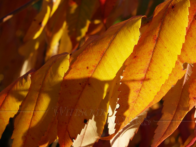 Golden Staghorn Sumac Leaves in October